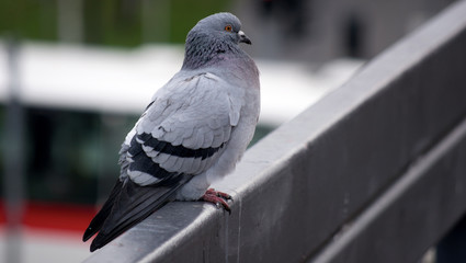 Pigeon awaiting some action watching people around