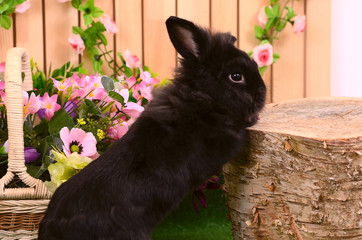 The black little rabbit