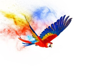 Fototapete - Colourful flying parrot isolated on white