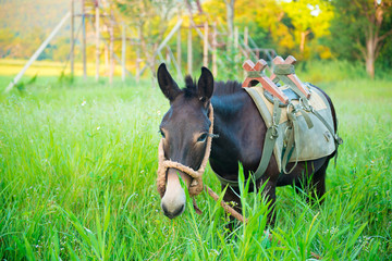 Mule graze,hinny