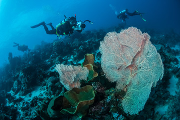 Divers and sea fan Muricella in Banda, Indonesia underwater