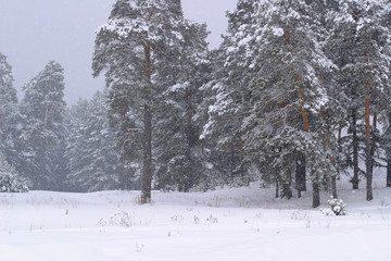 snowfall in the pines