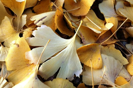 Ginko, Blätter, Herbst,