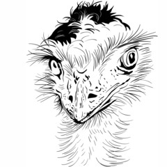 Closeup portrait of funny Ostrich Bird