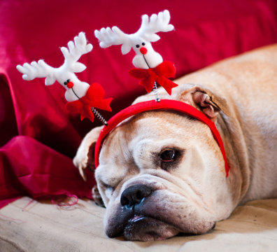 Bulldog asleep after Christmas