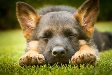 German shepherd puppy sleeping on a warm summer day on a warm su