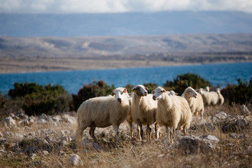 Group of sheeps on pasture