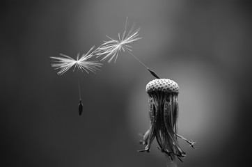 Black and white photo of dandelion seeds