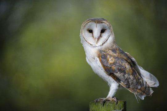 Woodland Barn Owl 2