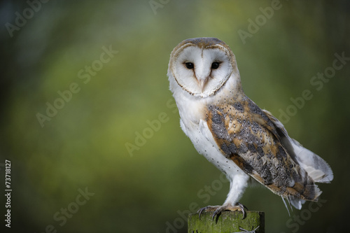 Wall mural Woodland Barn Owl 2