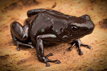 black poison arrow frog