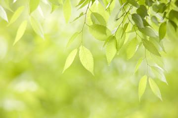 新緑のケヤキの葉