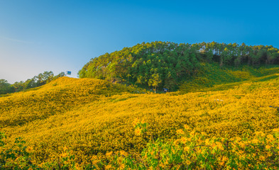 Mexican sunflower field
