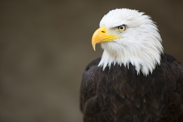 Photo sur Plexiglas Aigle Bald headed eagle, side profile.