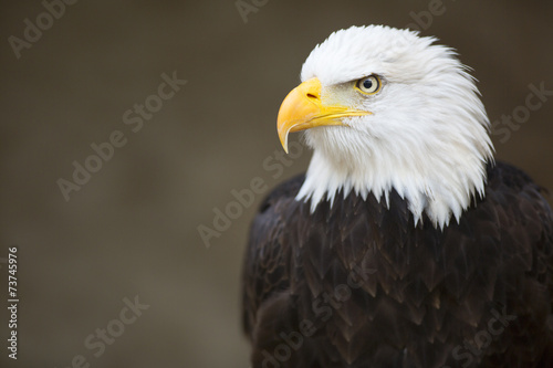 Wall mural Bald headed eagle, side profile.