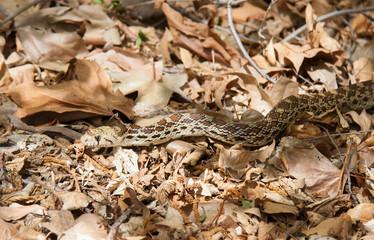 Large Sonoran Gopher Snake