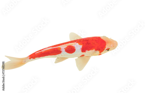 Koi Fish Isolated On White Background Stock Photo And