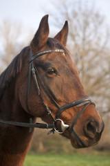 Furioso breed horse head in meadow