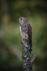 Wall Mural - Woodland Kestrel 3