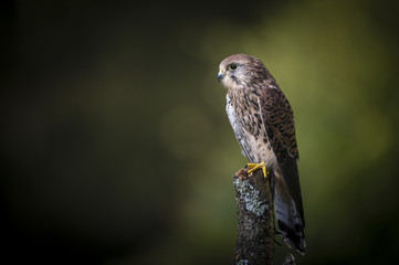 Wall Mural - Woodland Kestrel 4