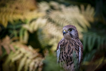 Wall Mural - Kestrel in Ferns