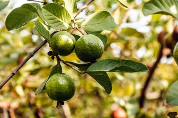 Green guavas