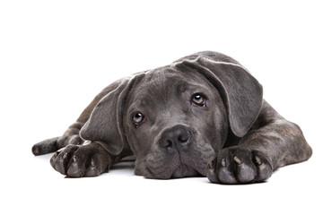 grey cane corso puppy dog Wall mural