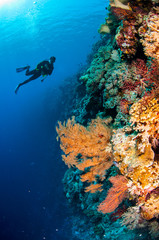 Diver, feather black coral in Banda, Indonesia underwater