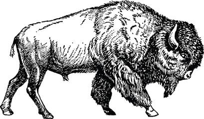 Vintage picture bison