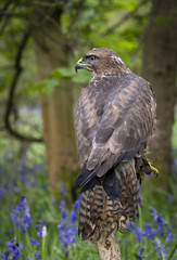 Wall Mural - Woodland Common Buzzard