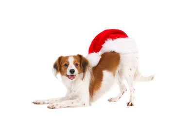 Acrylic Prints Dog Kooiker Hound with Santa hat on his back