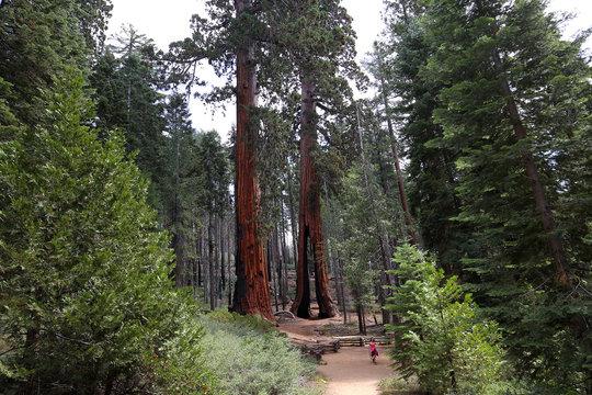 Sequoias at Mariposa Grove, Yosemite national park, california