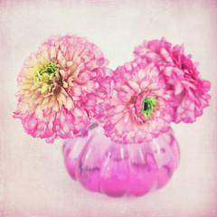 Ranunculus flowers  in a vase. Pink background .