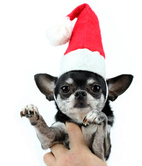 Photo sur Aluminium Chien de Crazy Christmas chihuahua.