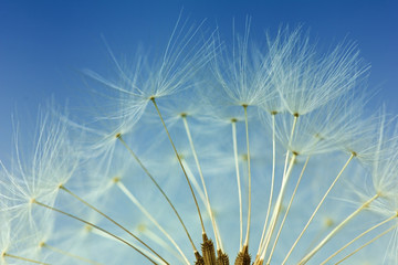 Foto op Canvas Paardenbloem Dandelion abstract background, closeup flowers feather