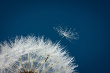 Foto op Canvas Paardenbloem Dandelion abstract background, closeup flowers seed, shallow depth of field