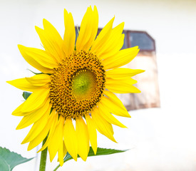 Beautiful yellow sunflower blossom with a window in the blurred.