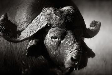 Foto auf Leinwand Buffel African buffalo bull Portrait