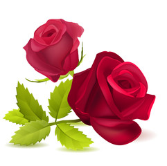 Realistic red rose on white.