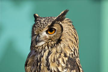 Foto auf Leinwand Eule Owl