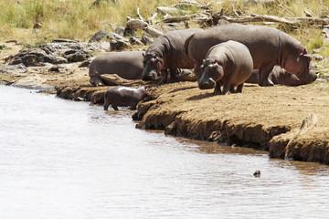 Hippos on the Masai Mara in Africa