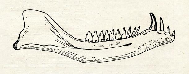 Mandible of Dromatherium - first known mammal