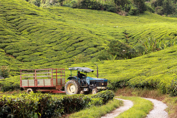 Wall Mural - tractor on tea plantation