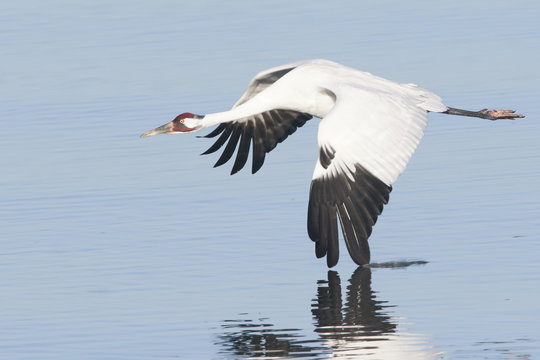 Whooping Crane in Flight with Wing in Water and Reflection