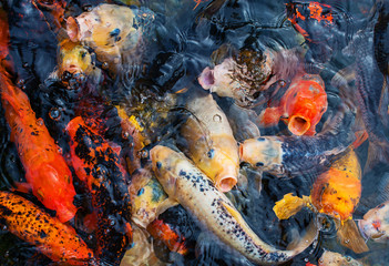Lots of colorful hungry koi fishes.