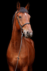 Big brown horse portrait on black background