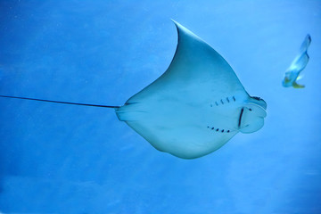 Electric ray fish in ocean