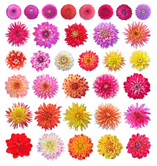 Dahlias. Set of cilorfull dahlias isolated on white background