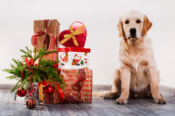Retriver and xmas gifts