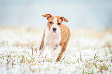 American staffordshire terrier puppy running in winter